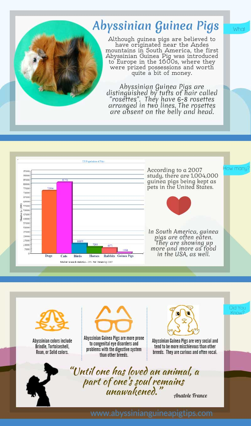 Abyssinian Guinea Pigs at a Glance Infographic
