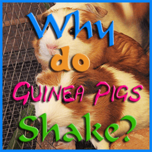 why do guinea pigs shake
