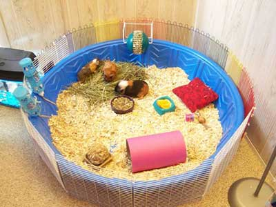 Make Your Own Guinea Pig Cage Abyssinian Tips