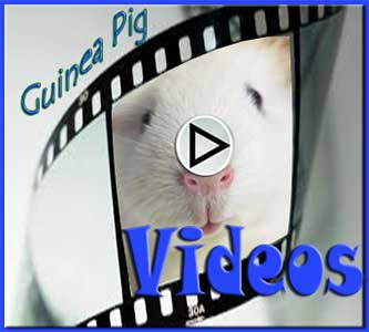 Guinea Pig Videos Gallery