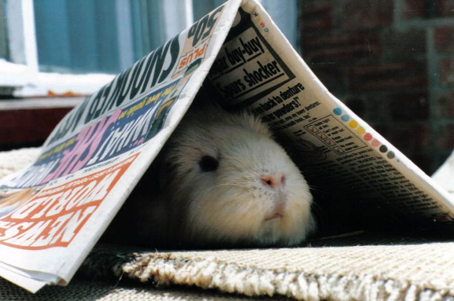 Newspaper guinea pig tunnel