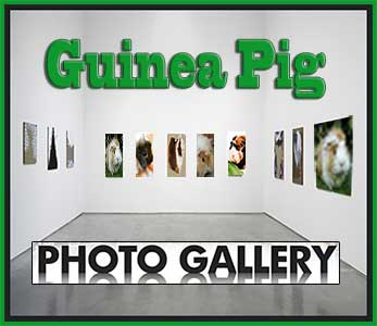 guinea pig pictures gallery