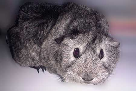 Silver Agouti abyssinian guinea pig