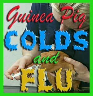 guinea pigs colds and flu