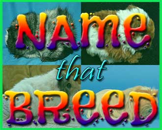 name that breed guinea pig quiz