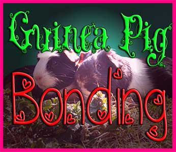guinea pig bonding