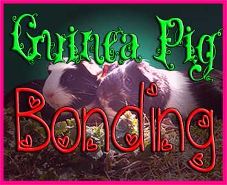 guinea-pig-bonding