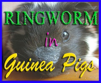 ringworm in guinea pigs