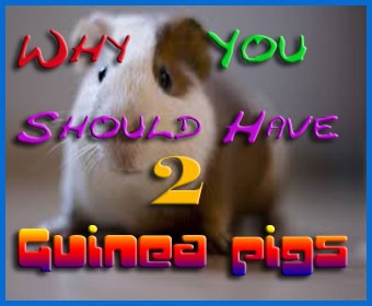 why you should have 2 guinea pigs