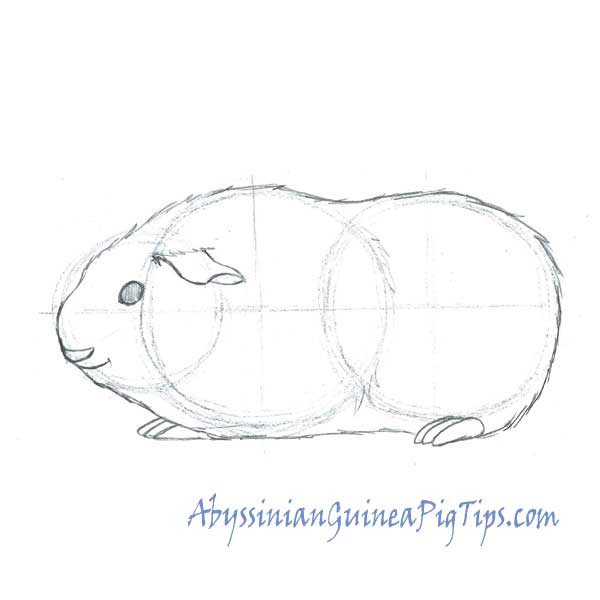Step 3 How To Draw a Guinea Pig