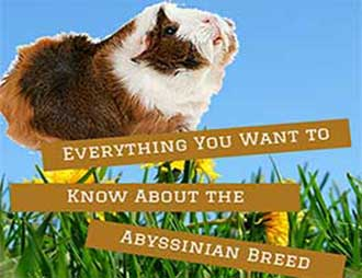 All About the Abyssinian Guinea Pig