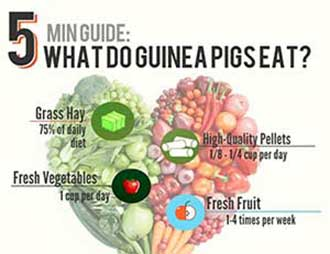what do guinea pigs eat infographic
