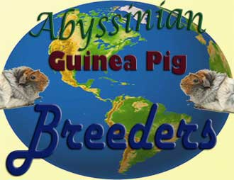 abyssinian guinea pig breeders directory