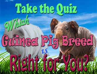 guinea pig quiz which guinea pig breed is right for you