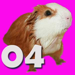 15 Things to Do With Your Guinea Pig