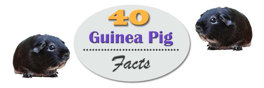 40 guinea pig facts