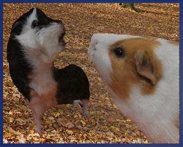 guinea pig dominance