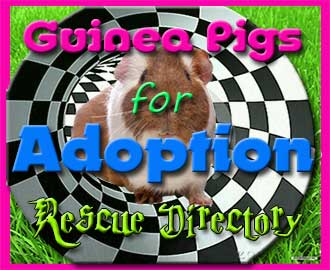 guinea pigs for adoption - guinea pig rescue