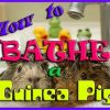How To Bathe a Guinea Pig