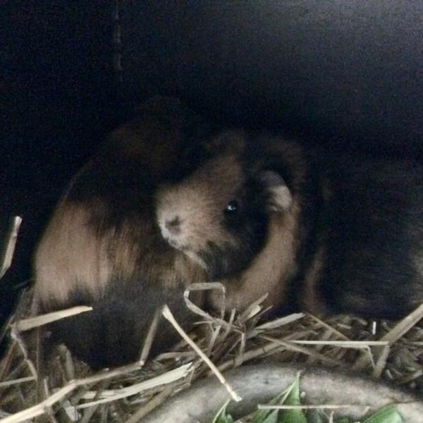 Cute Guinea Pigs Gallery