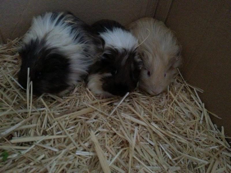 my cute guinea pigs