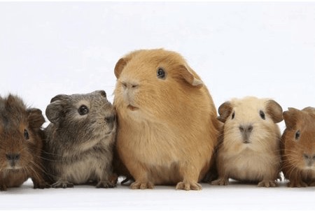 Do Guinea Pigs Eat Their Babies?