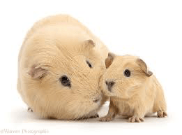 Do Guinea Pigs Eat Their Young