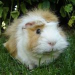 orange and white abyssinian guinea pig