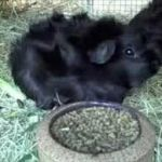 black abyssinian guinea pig