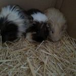 my cute guinea pigs